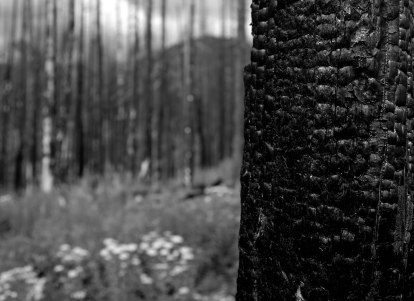 Glacier Trees 13