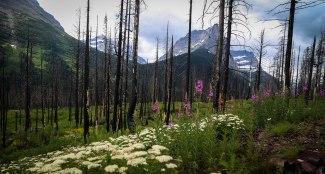 Glacier Trees 9